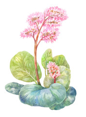 Blooming tea, Badan. Watercolor illustration on white