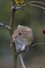 harvest mouse, mice close up portrait with blurred background on thistle, corn, berry and sloes