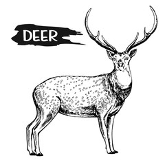 Hand drawn sketch style deer. Vector illustration isolated on white background.