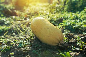 Ripe homegrown zucchini in organic vegetable garden