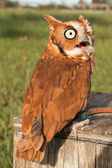 Screeching owl