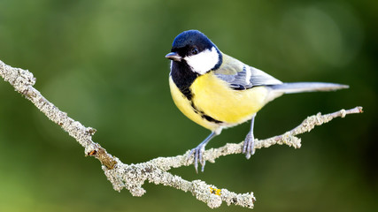 Great tit in the Autumn Forest.