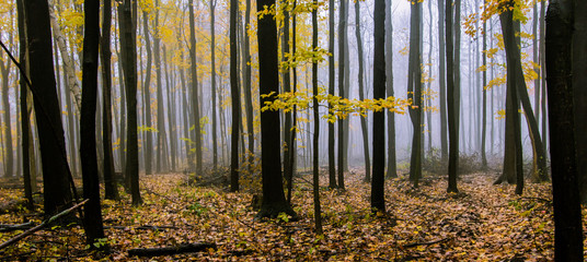 Foggy Autumn Forest Panorama. Northern Michigan forest sunrise on a foggy October autumn morning.