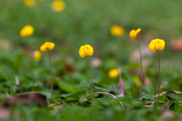 Arachis repens flower with blur background