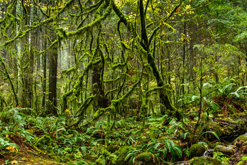 Mossy tree in rainforest in Lynn Canyon Park, Vancouver, British Columbia, Canada Wall mural
