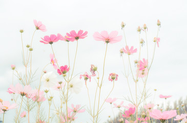 Fototapete - Cosmos flower field, beautiful pink flowers
