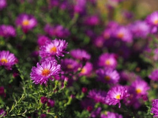 Bunch of pink rice button asters on dark background.