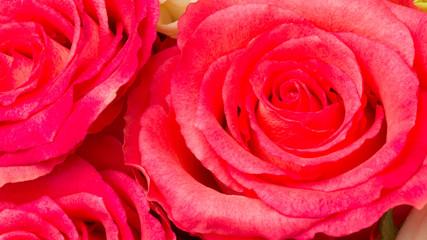 beautiful bright roses