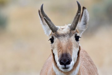 Photo sur Aluminium Animaux de Hipster Antelope closeup