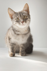 A small cute short-haired gray six-month-old kitten is sitting on a white background.