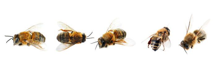 Honey bees on white background Wall mural