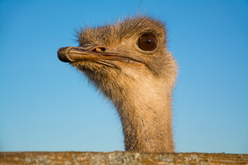 Big african emu, head on the sky background