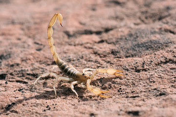 Hadrurus arizonensis, the giant desert hairy scorpion, giant hairy scorpion, or Arizona Desert hairy scorpion, is the largest scorpion in North America