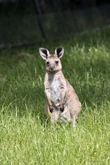 eastern grey  joey kangaroo
