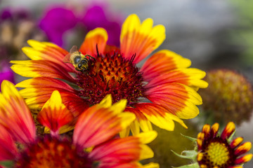 Bi colored flowers in the garden
