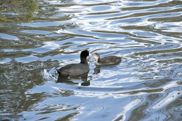 coot with  hatchling