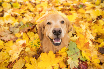 Golden Retriever Dog in a pile of bright yellow, colorful Fall leaves