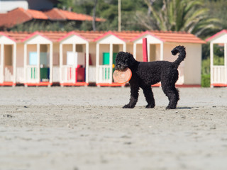 black poodle dog playing frisbee  on the beach