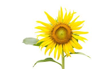 Sunflower close up on white background