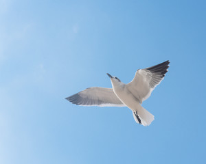 Close-up a large white seagull soaring in the cloud blue sky. White wild bird flying against the sky. Concept for freedom.