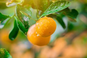 Kumquat Marmalade Orange fruit fresh with drops on tree
