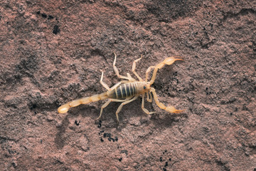 Hadrurus arizonensis, the giant desert hairy scorpion, giant hairy scorpion, or Arizona Desert hairy scorpion is a top view