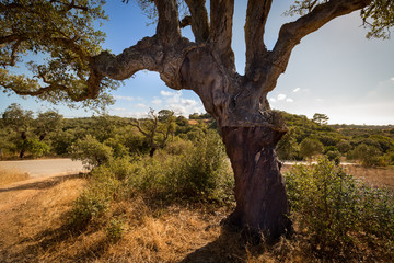 Cork oaks in the Portuguese countryside