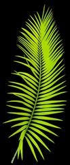 feuille de palmier sagoutier, fond noir