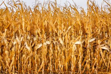Campo de maíz seco. Mazorcas.