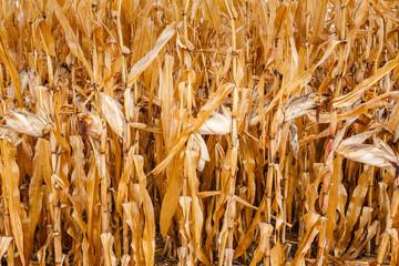 Mazorcas. Campo de maíz seco.
