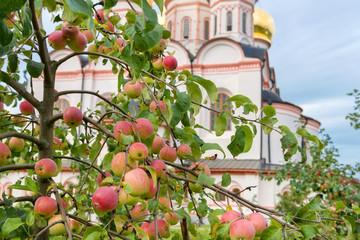 Apples in the garden The Valdai Iver Svyatoozersky Virgin Monastery.