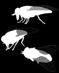 three pale giant horse-fly silhouettes isolated on black
