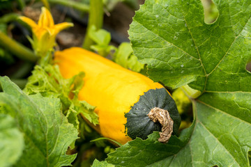 Fresh yellow squash with green top among green leaves in the garden