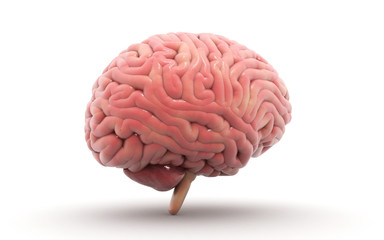 3d rendered Human Brain isolated on white background