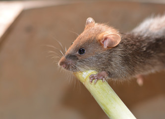 a young grey- brown rat holding  the green timber in farmhouse