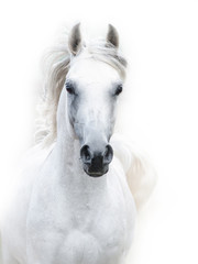 snowy white arabian stallion against the white background