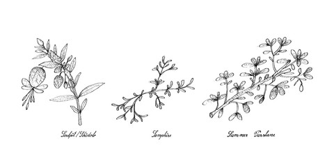 Hand Drawn of Sculpit or Stridolo, Samphire and Summer Purslane