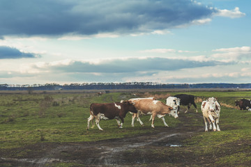 Cows grazing on autumn pasture at sunset. Toned photo. Agricultural concept