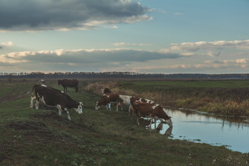Cows at watering place at sunset in the fall. Toned photo. Agricultural concept
