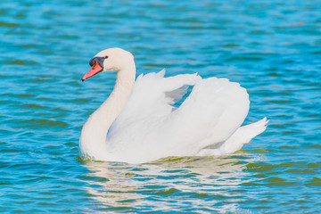 Swan floating on the water