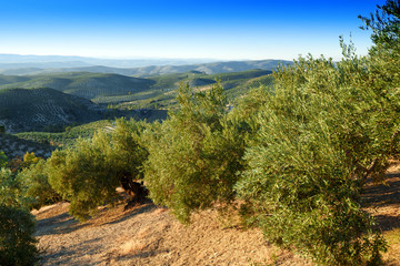 olive groves of Jaen,Andalusia,Spain
