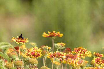 Bunte Blumenwiese mit Astern und einer schwarzen Holzbiene