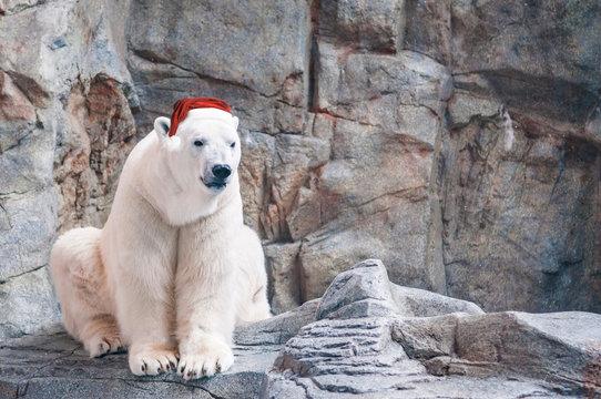 White polar bear wearing Santa Hat in Christmas sitting on the rock