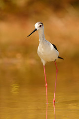 Stilt in a pond looking for food