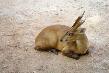 Image of Barking deer or Muntjac (Muntiacini) relax on the ground. Wildlife Animals.