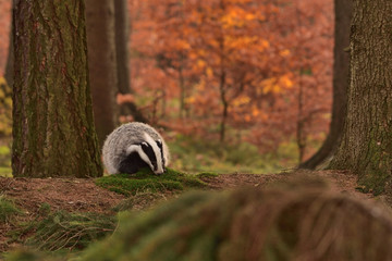 Beautiful European badger (Meles meles - Eurasian badger) in his natural environment in the autumn forest and country