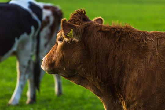Glückliche Kühe auf der Herbstweide