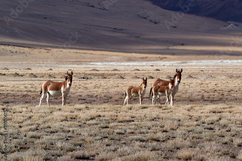 Wild Alpine Donkeys Family Of Animals Two Adults And Two