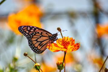 Beautiful monarch butterfly on an orange flower in summer