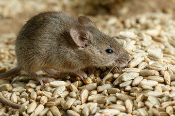 Closeup small  vole mouse lurking on pile of grain of rye in warehouse. Concept of fight with rodents.